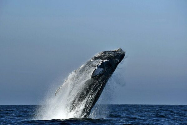 Humpback whales, distinguished visitors of the bay