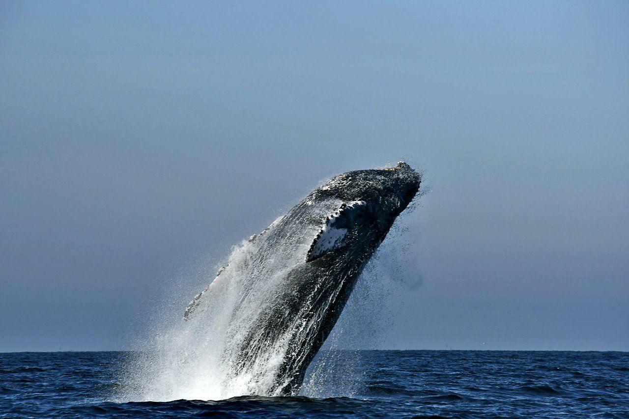 Ballenas jorobadas, visitantes distinguidos de la bahía