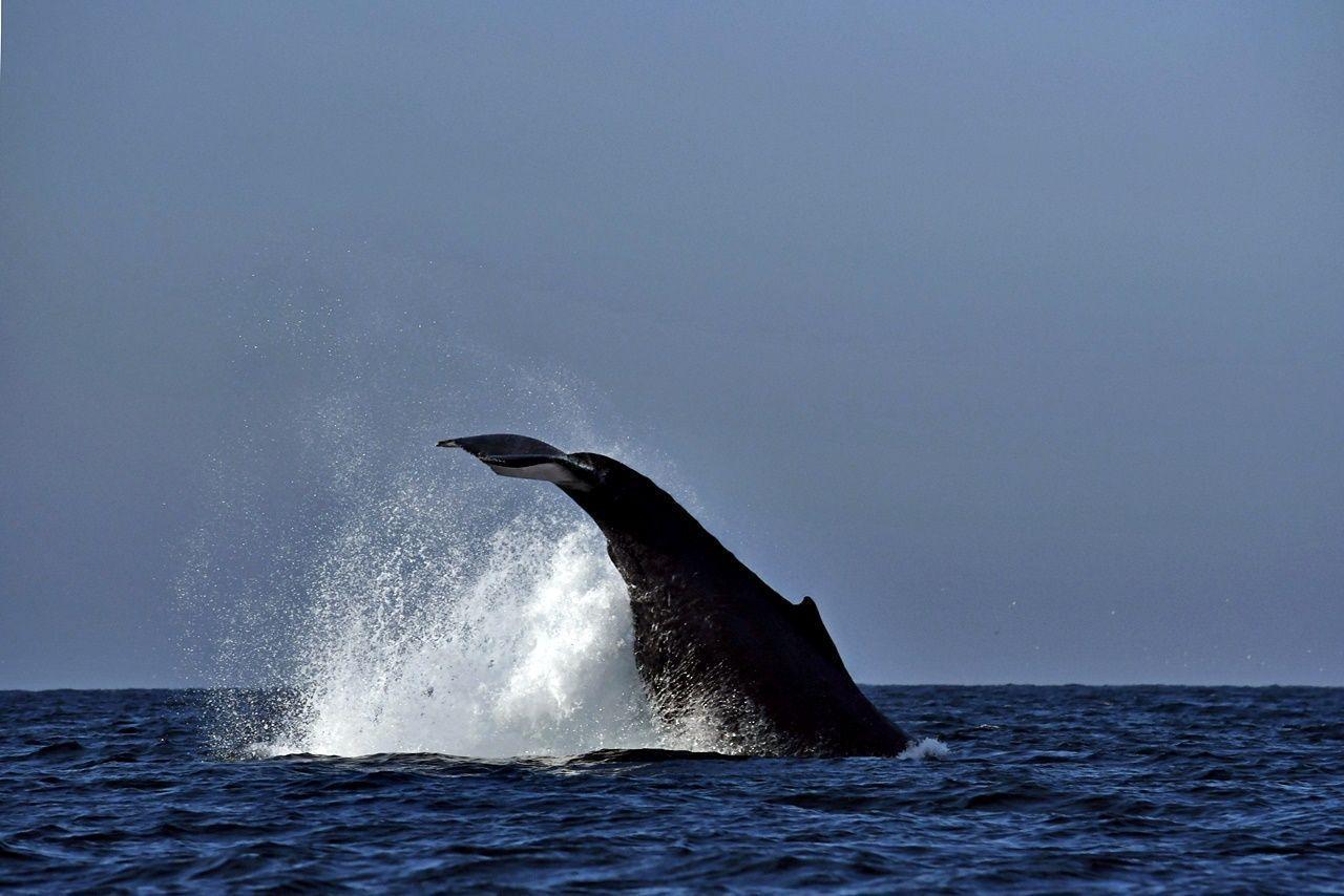 avistamiento de ballenas, ballena jorobada