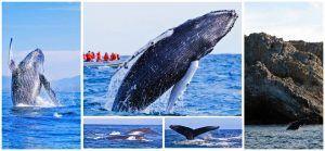 ¡Hasta la vista, babys! Termina temporada de ballenas en Riviera Nayarit