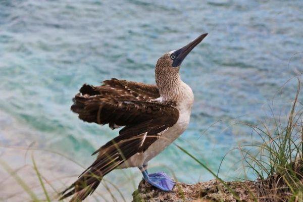 """El carismático """"pájaro bobo"""", un icono de la Riviera Nayarit"""