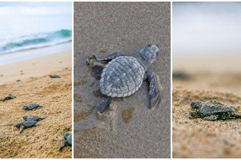 Protección y conservación de la tortuga marina, un compromiso de Riviera Nayarit